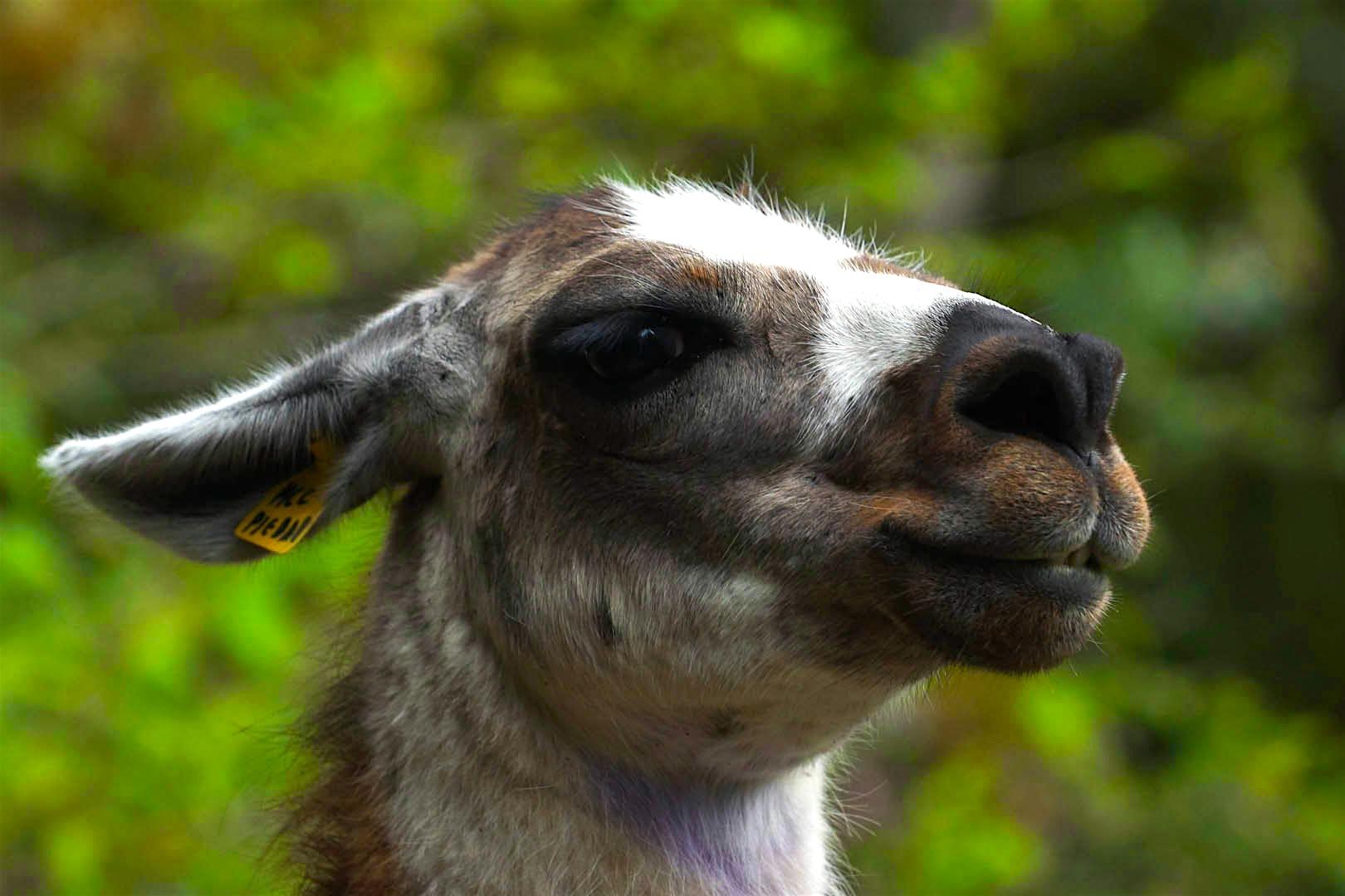 Inca Trail: Llama