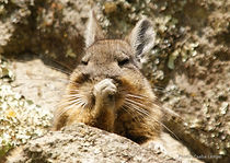 Chinchilla of Machu Picchu