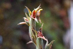 Orchid along Inca Trail