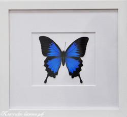 Оформление тропической бабочки