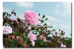 Цветы_117