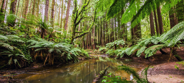Redwoods Otways