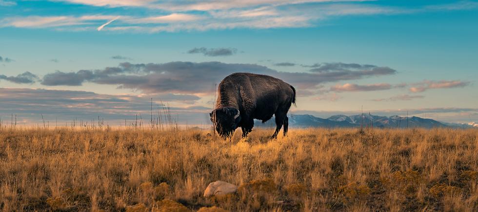 Plains-Bison.png