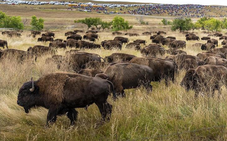 Osage Buffalo.jpg
