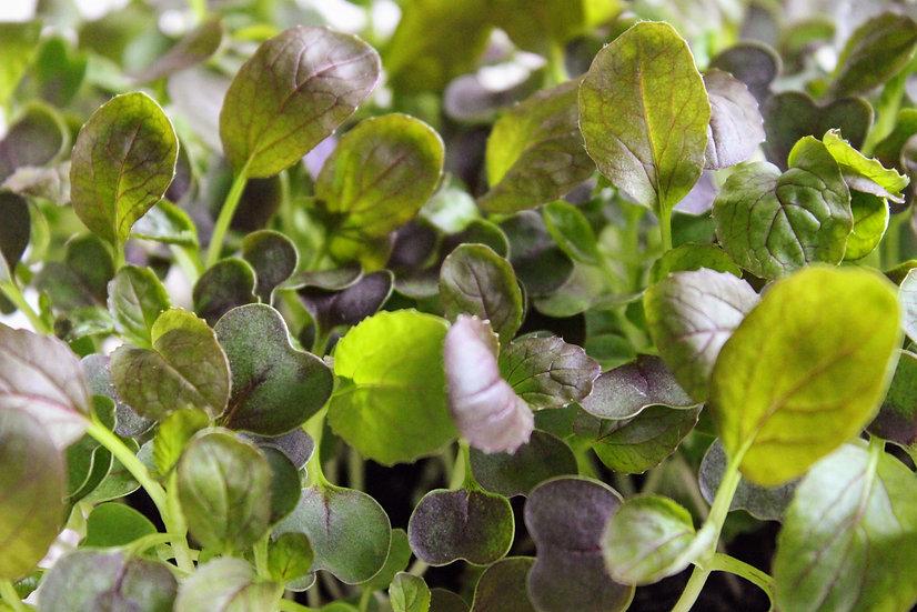 Japán Mustárspenót mikrozöld mag