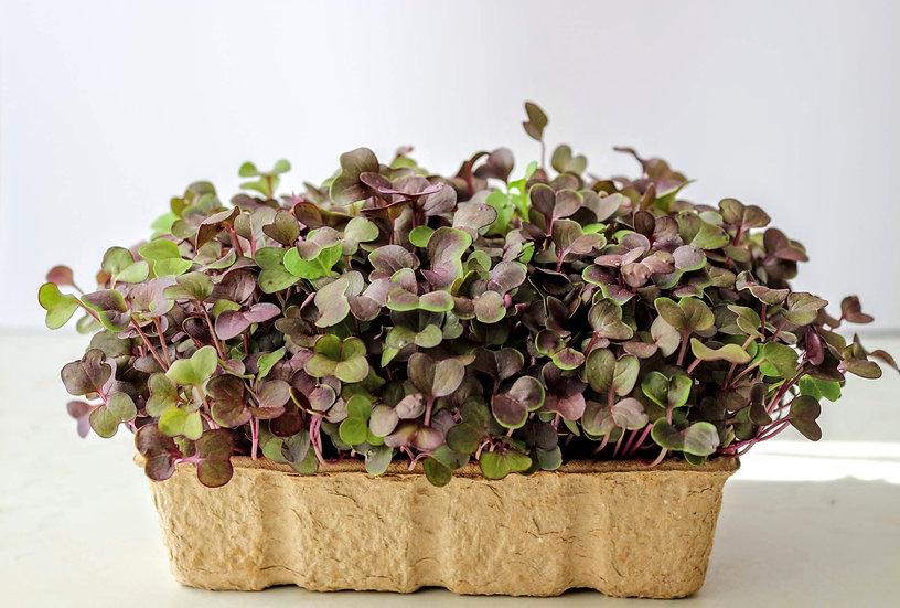 Retek lila levelű (RAMBO) mikrozöld mag