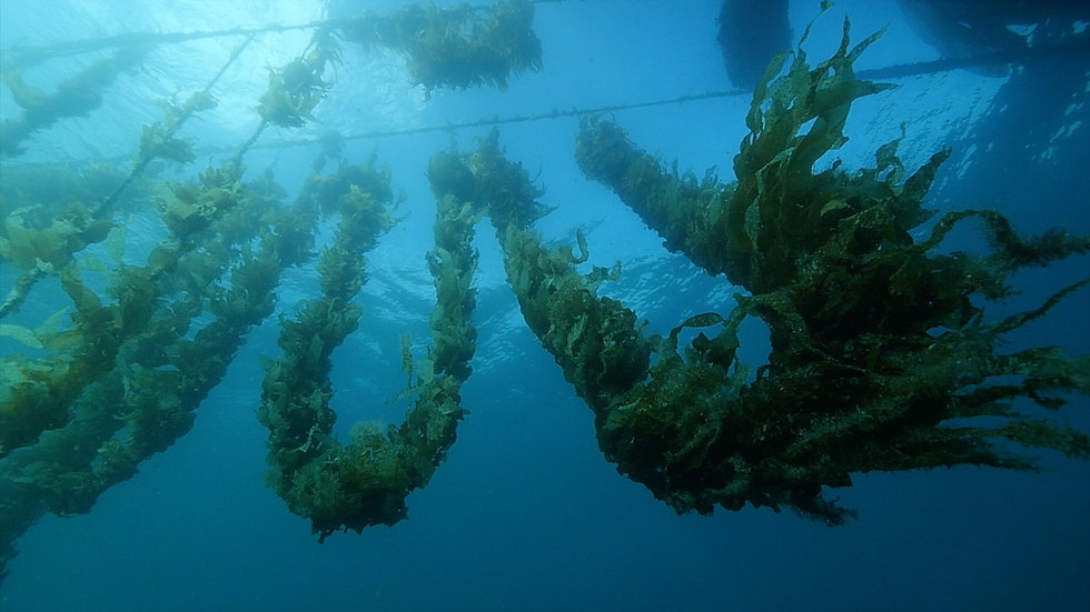 Seaweed cultivated on a loop system.jpg