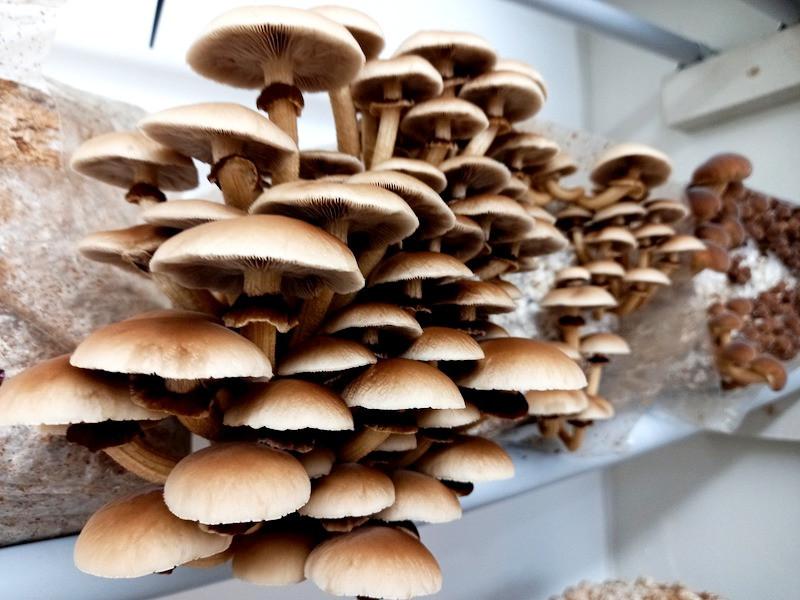 NZ native mushroom, Tawaka aka Parasitica
