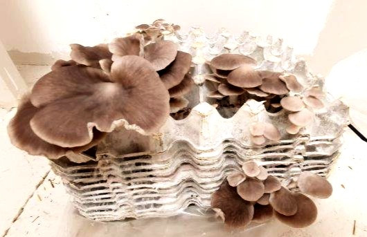 Oyster Mushrooms Growing On Egg Cartons