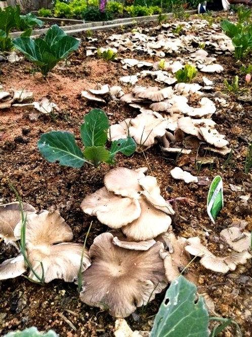 Oyster Mushroom Outdoor Garden Bed Grow Kit - 2kg Sawdust Spawn