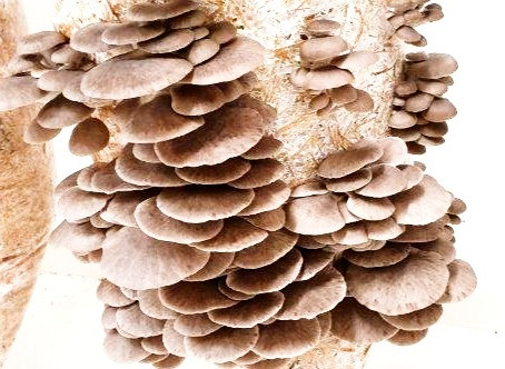 How to Grow Oyster Mushrooms - Beginners Guide
