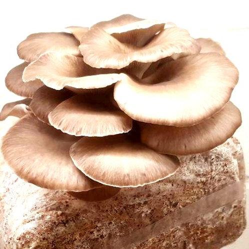 Oyster Mushroom Blocks