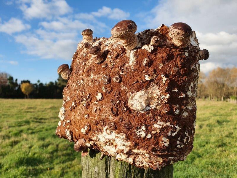 Shiitake block pinning baby mushrooms