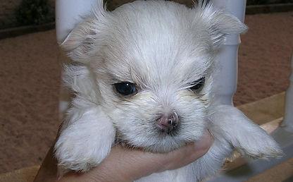 cachorro maltes bebe