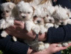 cachorros malteses
