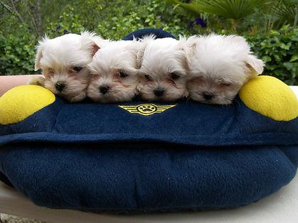 cachorros bichon maltes toy