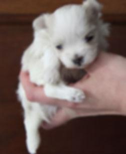cachorra maltesa mini