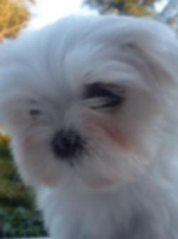 cachorro bichon maltes chato