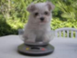Peso de un cachorro bichon maltes