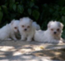 cachorritos bichon maltes