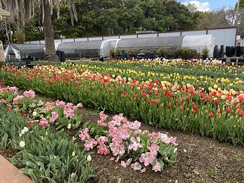 May 2020 tulip bloom