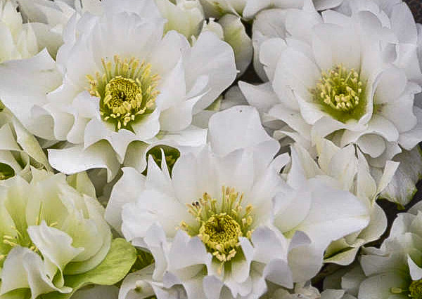 Helleborus Wedding Bells.jpg