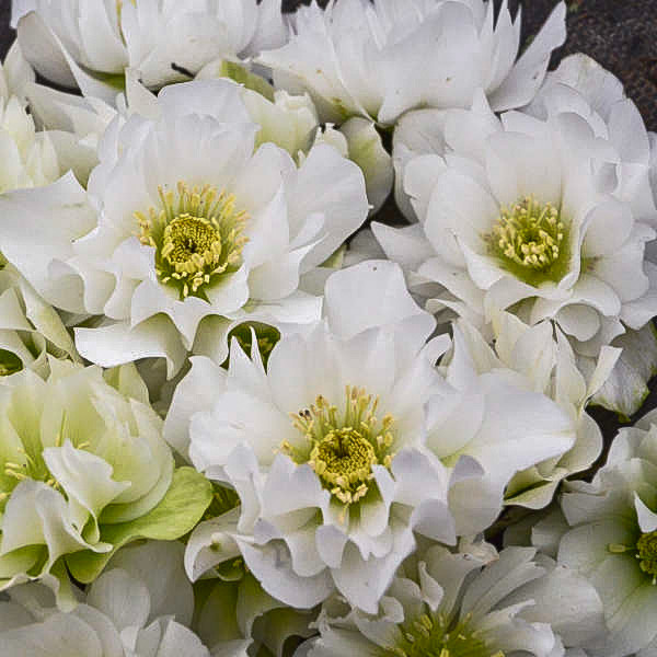 Helleborus Wedding Bells.jpg