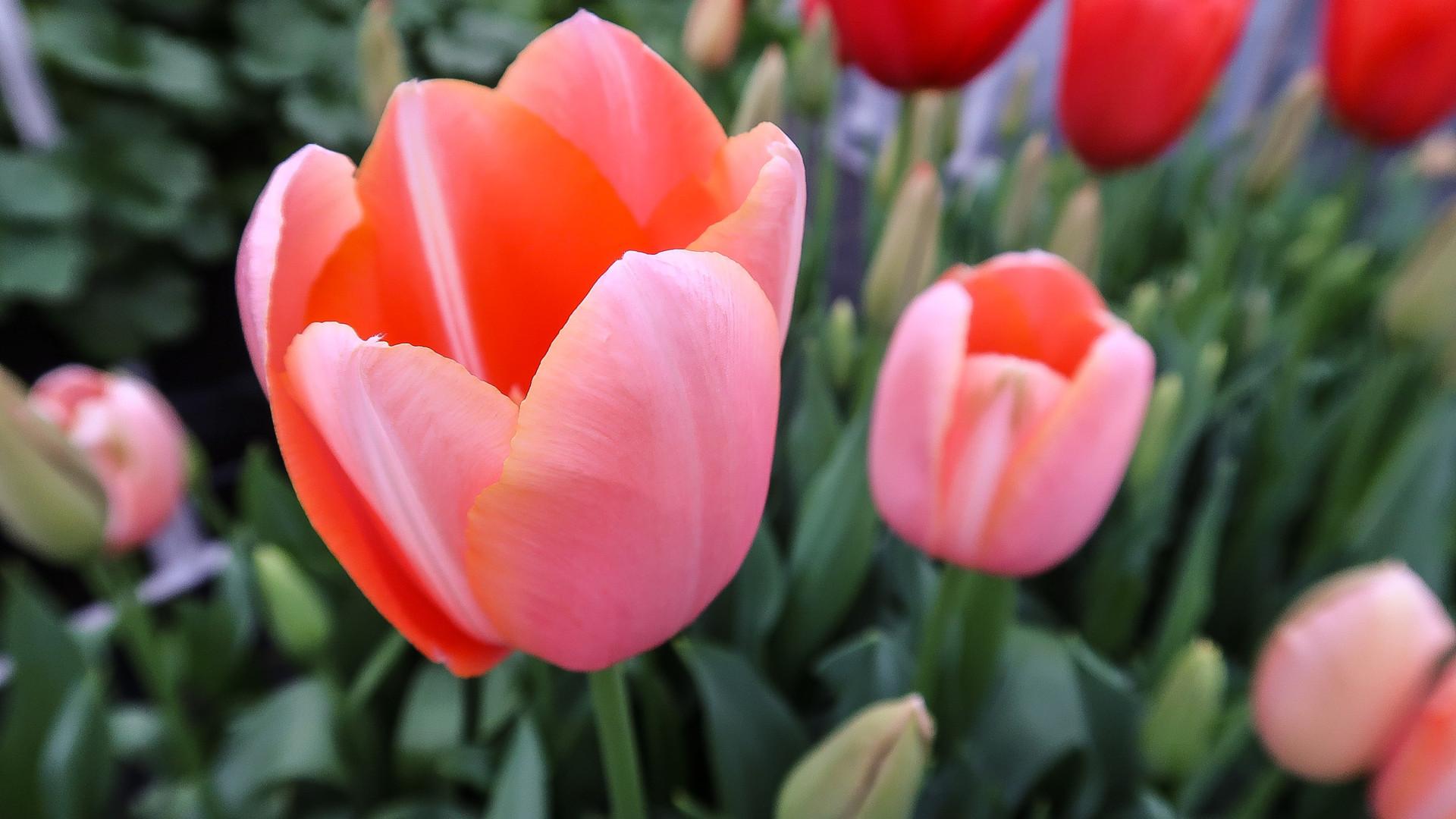 Tulip Menton.jpg