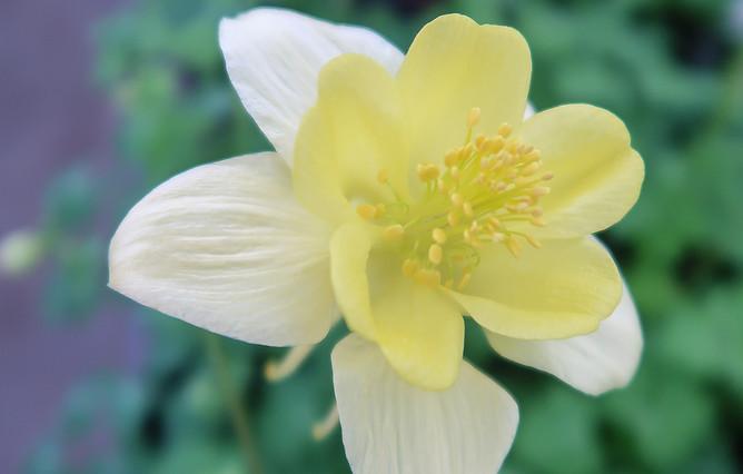 Columbine Swan Yellow.jpg