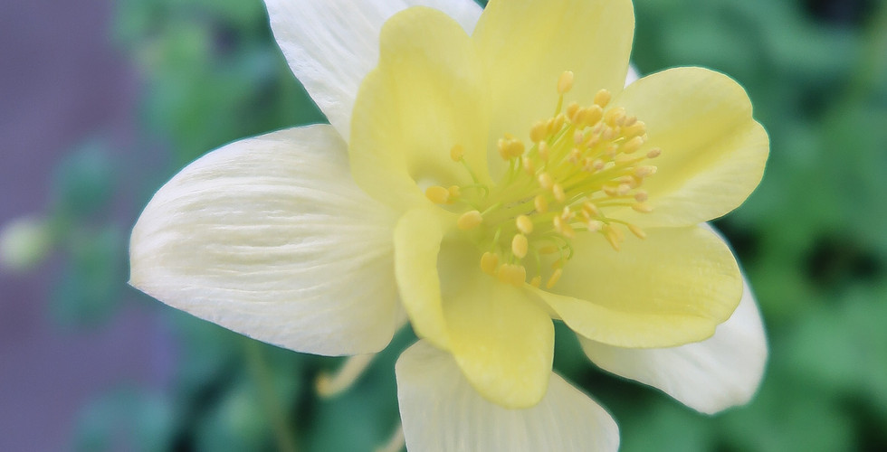 Columbine Swan Yellow.jpg