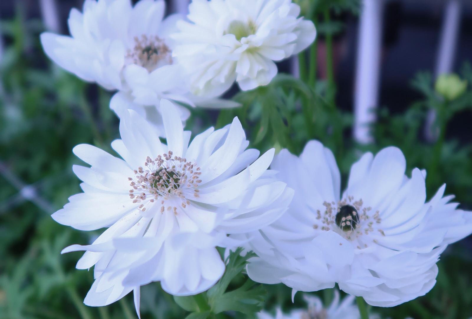 Mt Everest Open Flowers.jpg