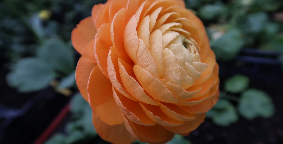Ranunculus Mambo.jpg