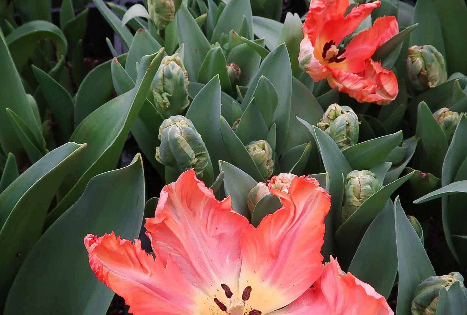 Tulip Parrot.jpg