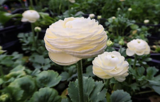 Ranunculus Cremello.jpg