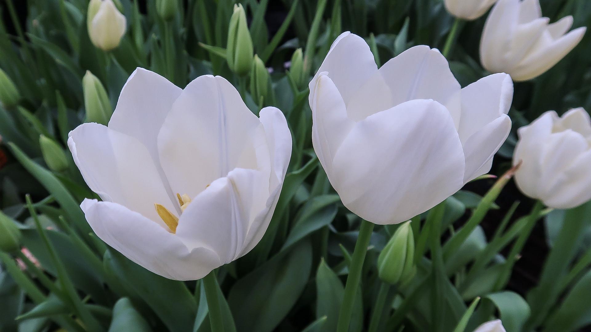 Tulip Maureen.jpg