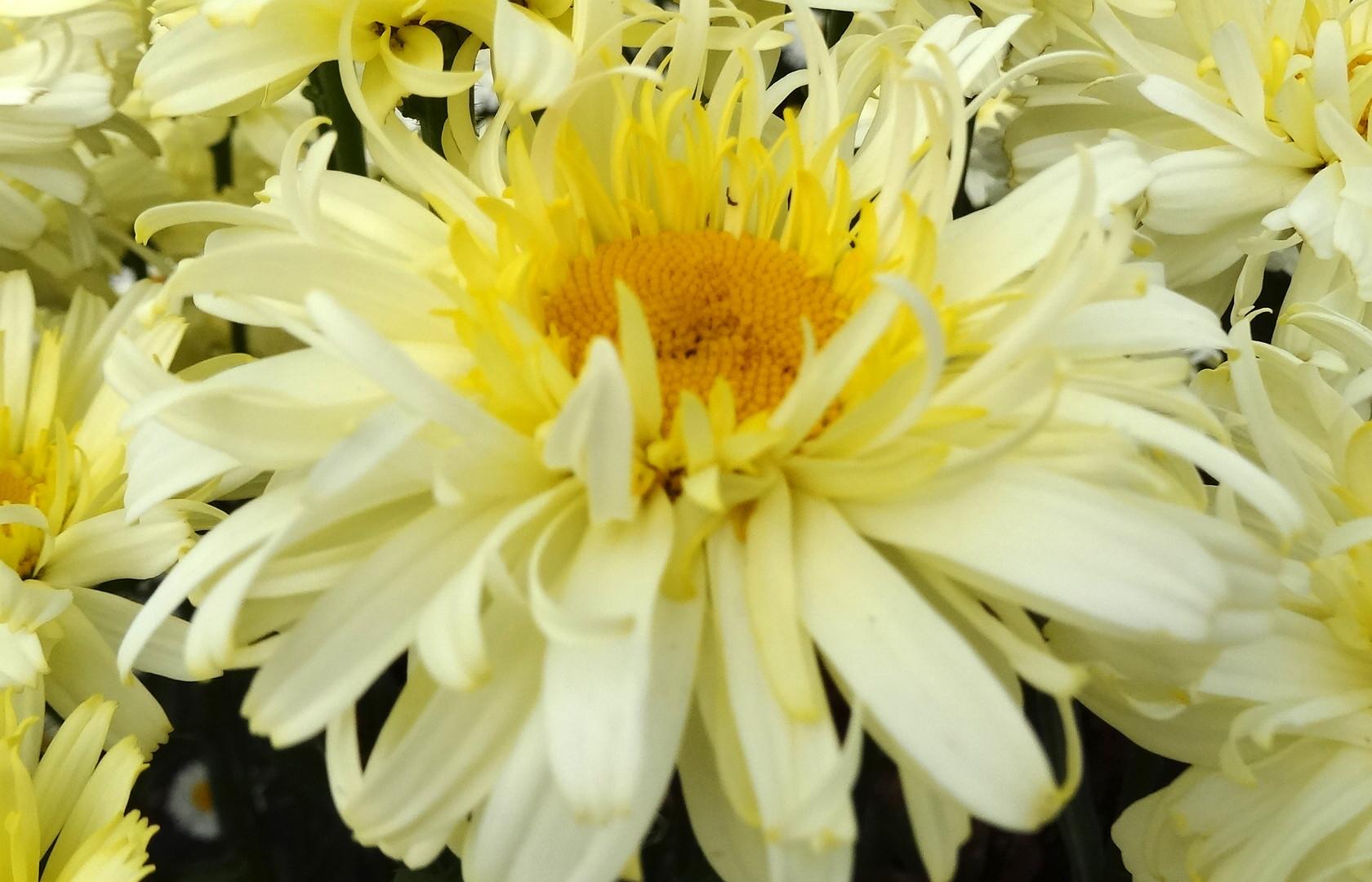 Leucanthemum-Real-Charmer-001.jpg