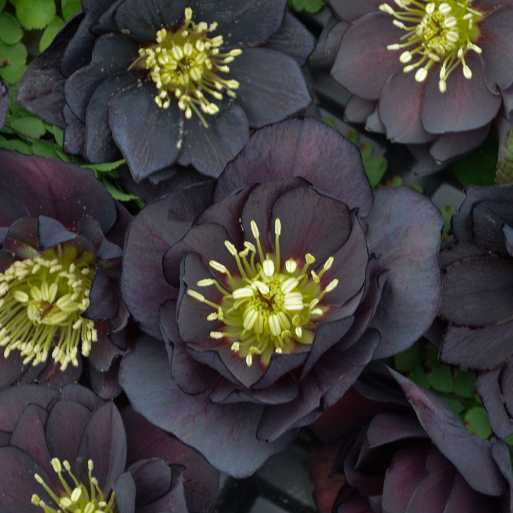 Helleborus Dark and.jpg