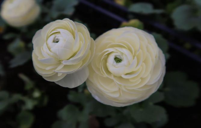 Ranunculus Cremello Pair.jpg