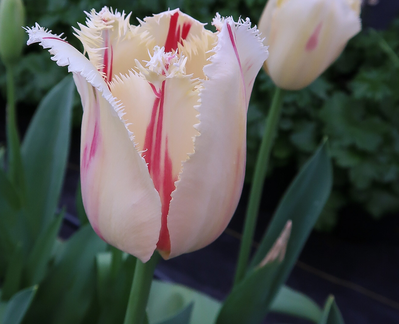 Tulip Carnavale.jpg