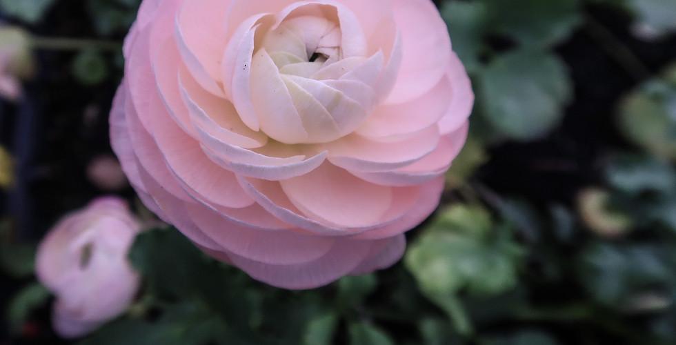 Ranunculus Venere.jpg