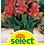 Thumbnail: Indisches Blumenrohr 'Fata Morgana' - Canna-Indica-Hybriden