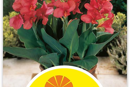 Indisches Blumenrohr 'Fata Morgana' - Canna-Indica-Hybriden