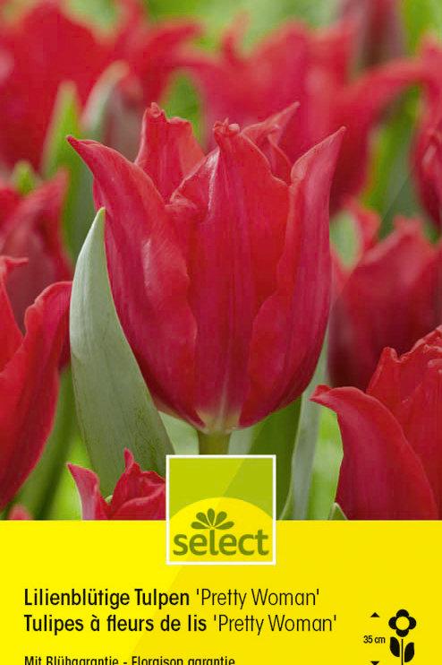 Lilienblütige Tulpen'Pretty Woman' - Tulipa