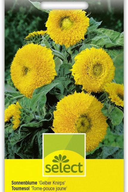Sonnenblume 'Gelber Knirps'