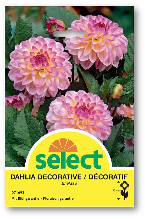 Dahlien 'El Paso' - Dahlia Decorative