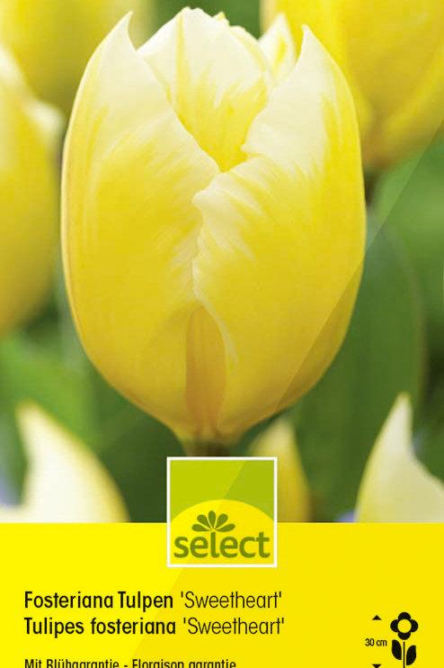 Fosteriana Tulpen 'Sweetheart' - Tulipa fosteriana