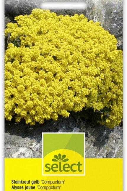 Steinkraut gelb 'Compactum'