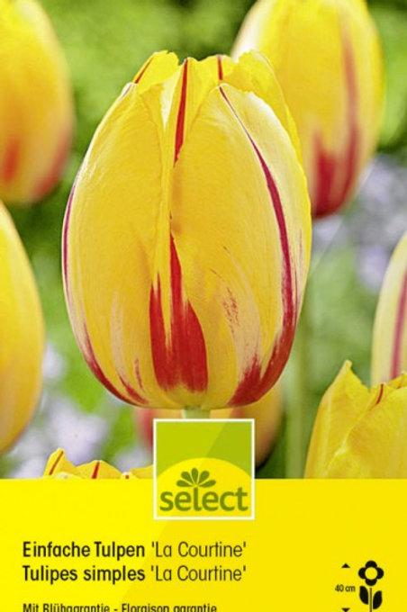 Einfache Tulpen 'La Courtine'
