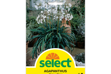 Agapanthus africanus - Schmucklilie, Weiss