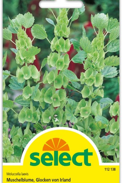 Muschelblume 'Glocken von Irland'